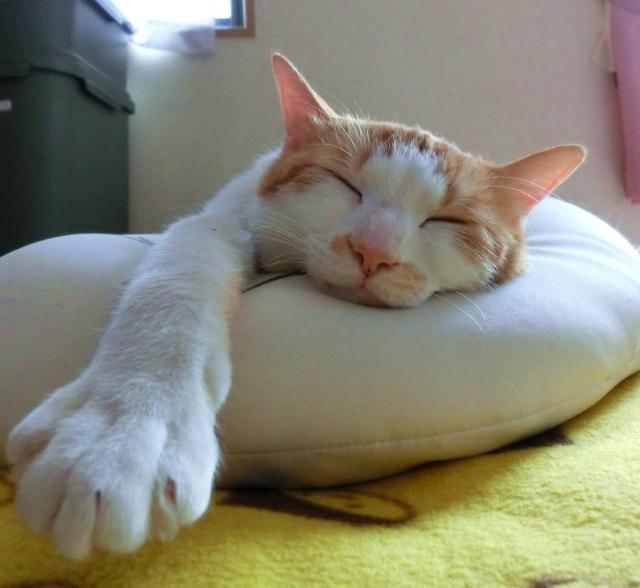 猫がお布団で占領している!これは安心している証拠!?
