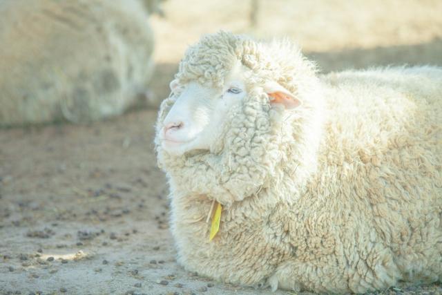 羊毛布団とはどんなもの?干し方やお手入れの方法とは